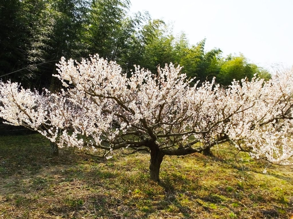 an ume tree with white blossoms