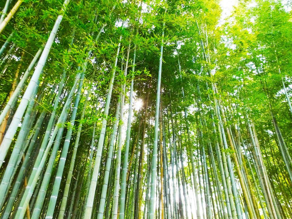 beautiful bamboos