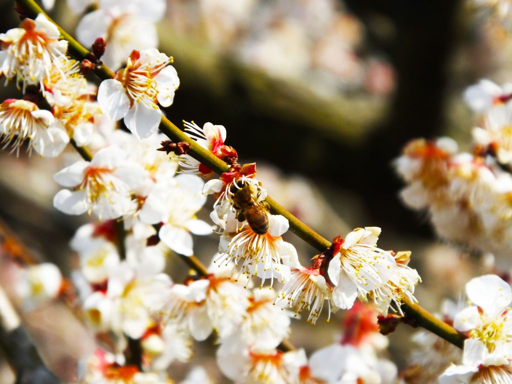 a bee and ume blossoms
