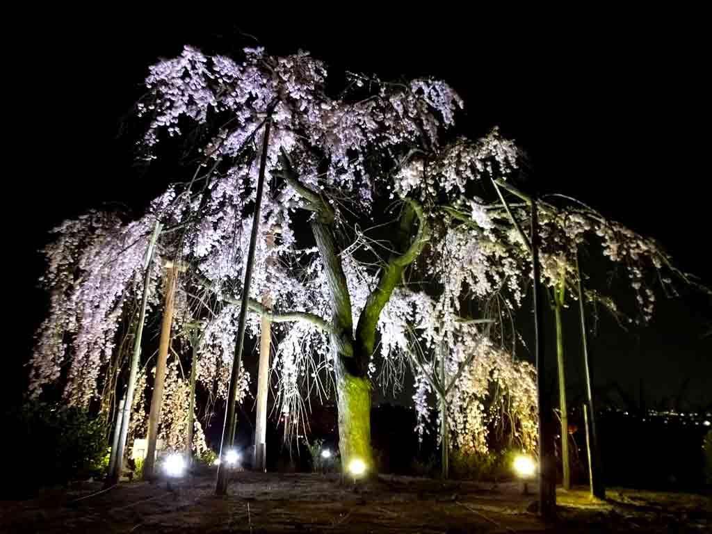 an-illuminated-cherry-tree