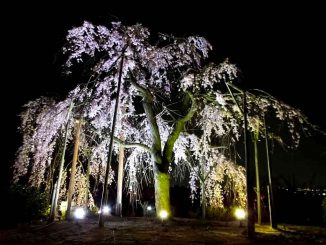an-illuminated-cherry-tree