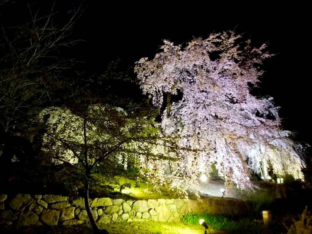 cherry-trees-in-the-night-breeze