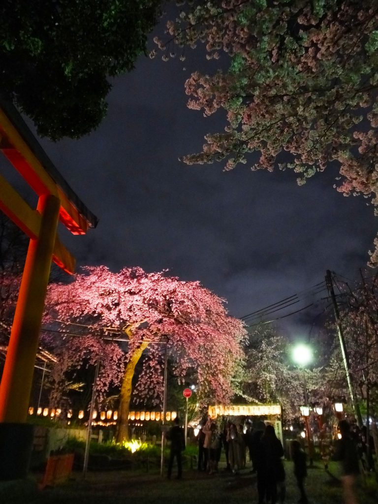 illuminated cherry blossoms in full bloom