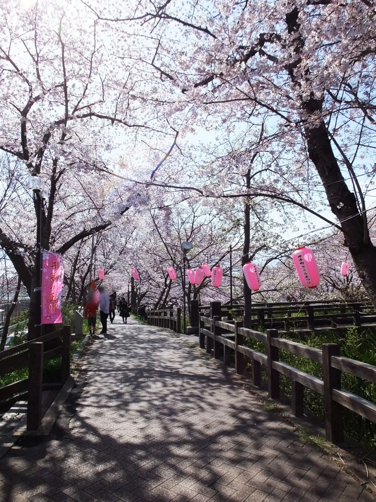 a tunnel of cherry blossoms