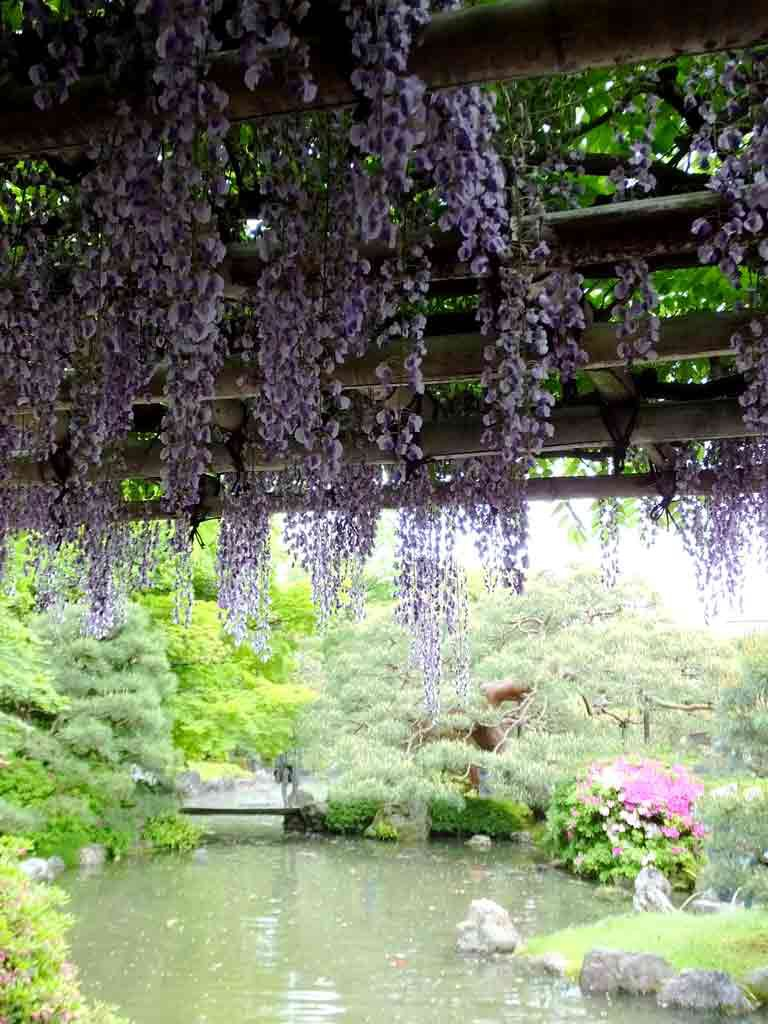 wisteria-flowers-and-a-pond