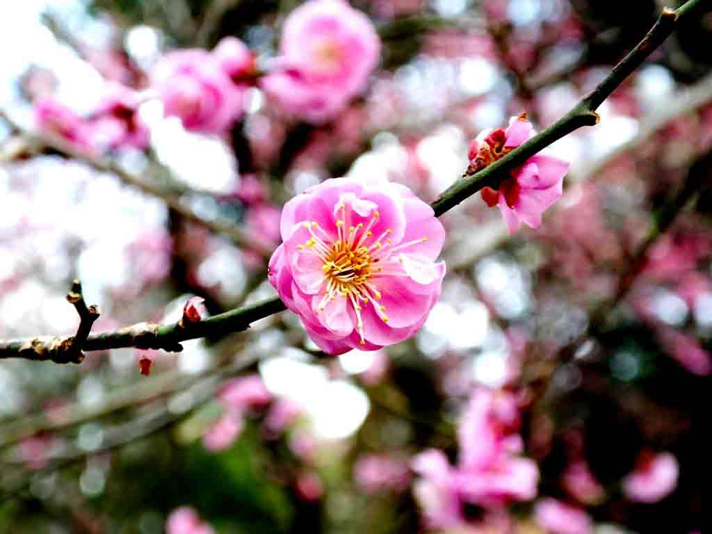 ume-blossoms-in-the-shrine