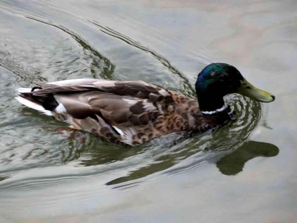 ducks-in-Kamo-River