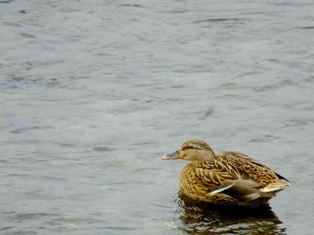 ducks-in-Kamo-River2