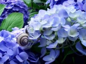 hydrangeas and a snail