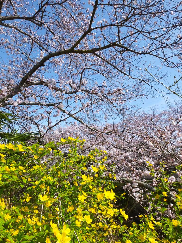 SakuraAndYamabuki