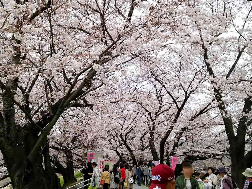 the-cherry-blossom-tunnel-and-the-sight-from-there1-2