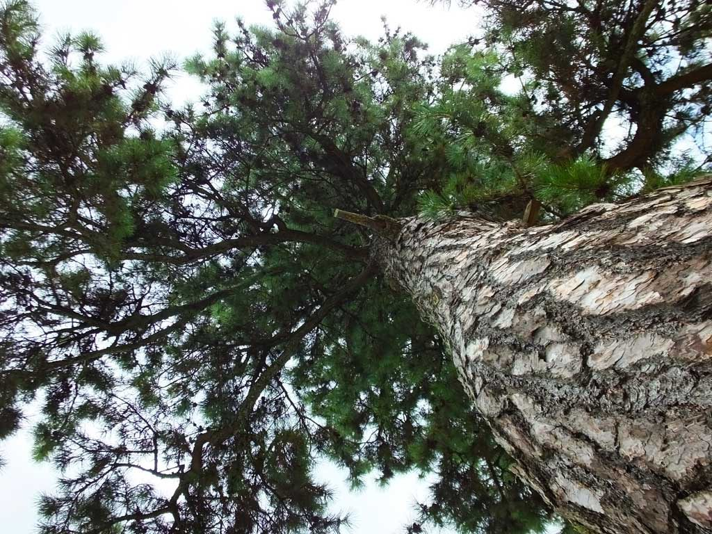 pines (sho)