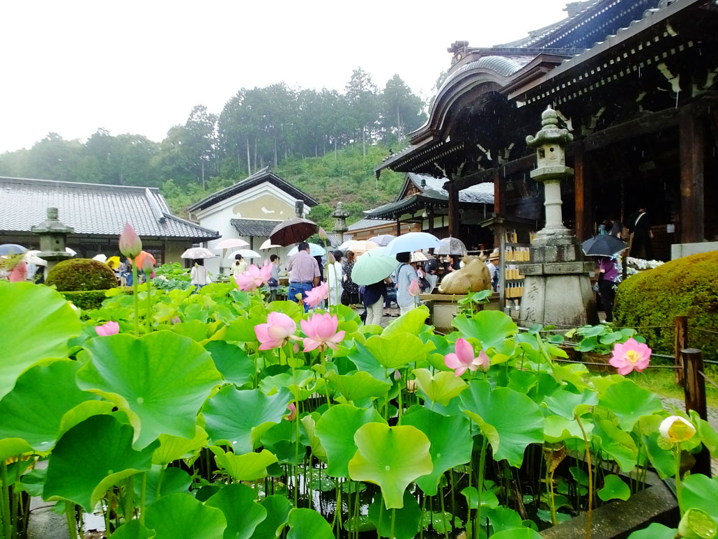 lotus flowers in front of the hondo