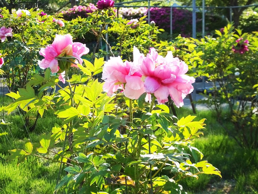in the peony garden