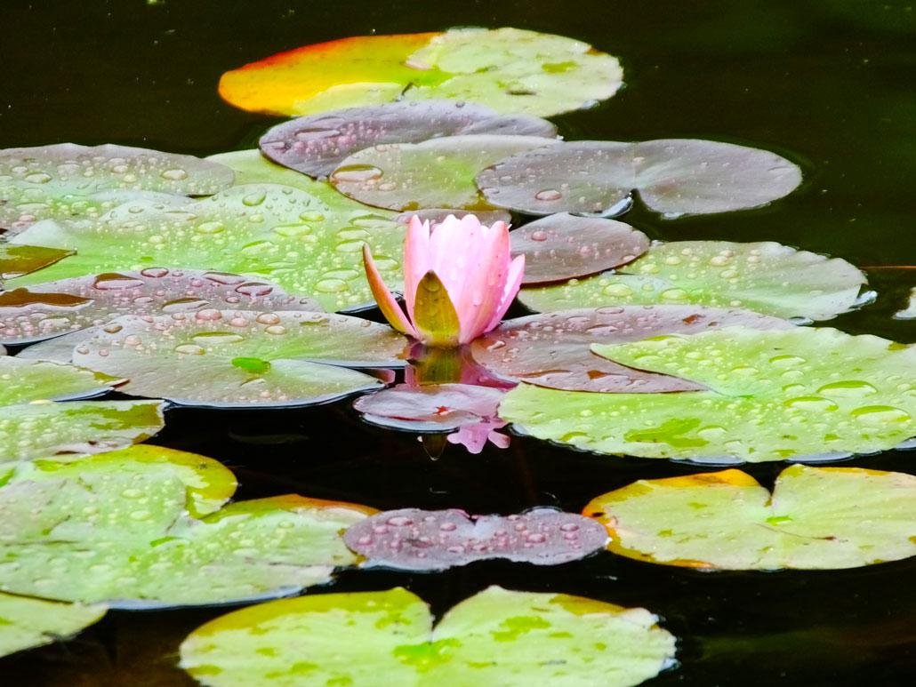 lotus flowers in Mimurotoji Temple