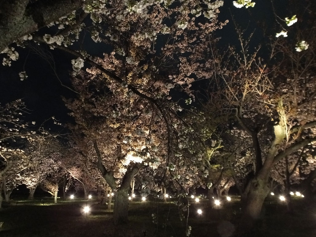 the illumination in Sakura no Sono